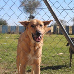 trasto-adoptar-perro-galgo-madrid-10
