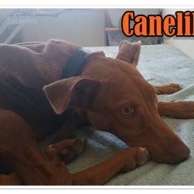 Canelilla