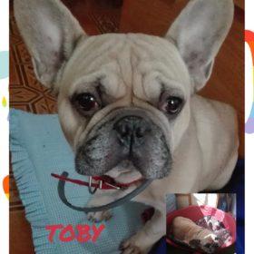 Toby Bulldog